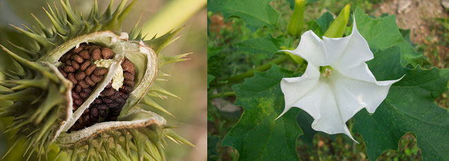 stramonio datura semi