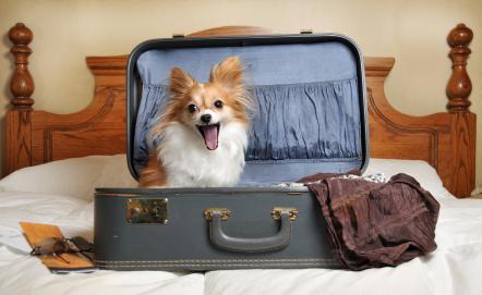 volpino in valigia