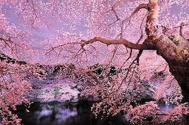 Dove ammirare i fiori di ciliegio con il tuo fidanzato