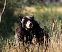 Tour avvistamento degli orsi in Canada