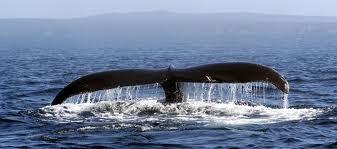 Come vedere le balene in Canada