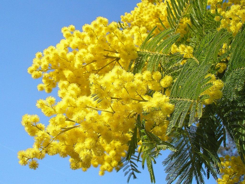 festa della donna mimosa 8 marzo