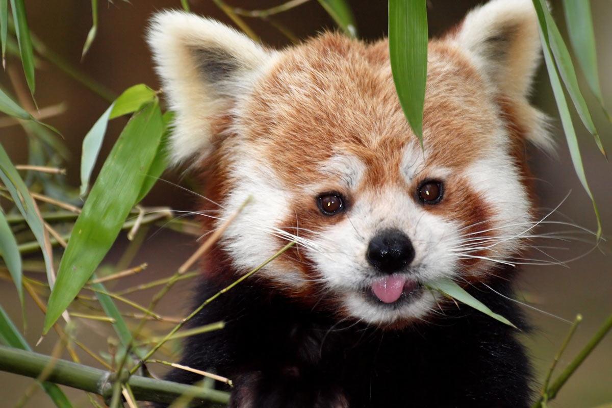 Dove vive panda rosso in europa