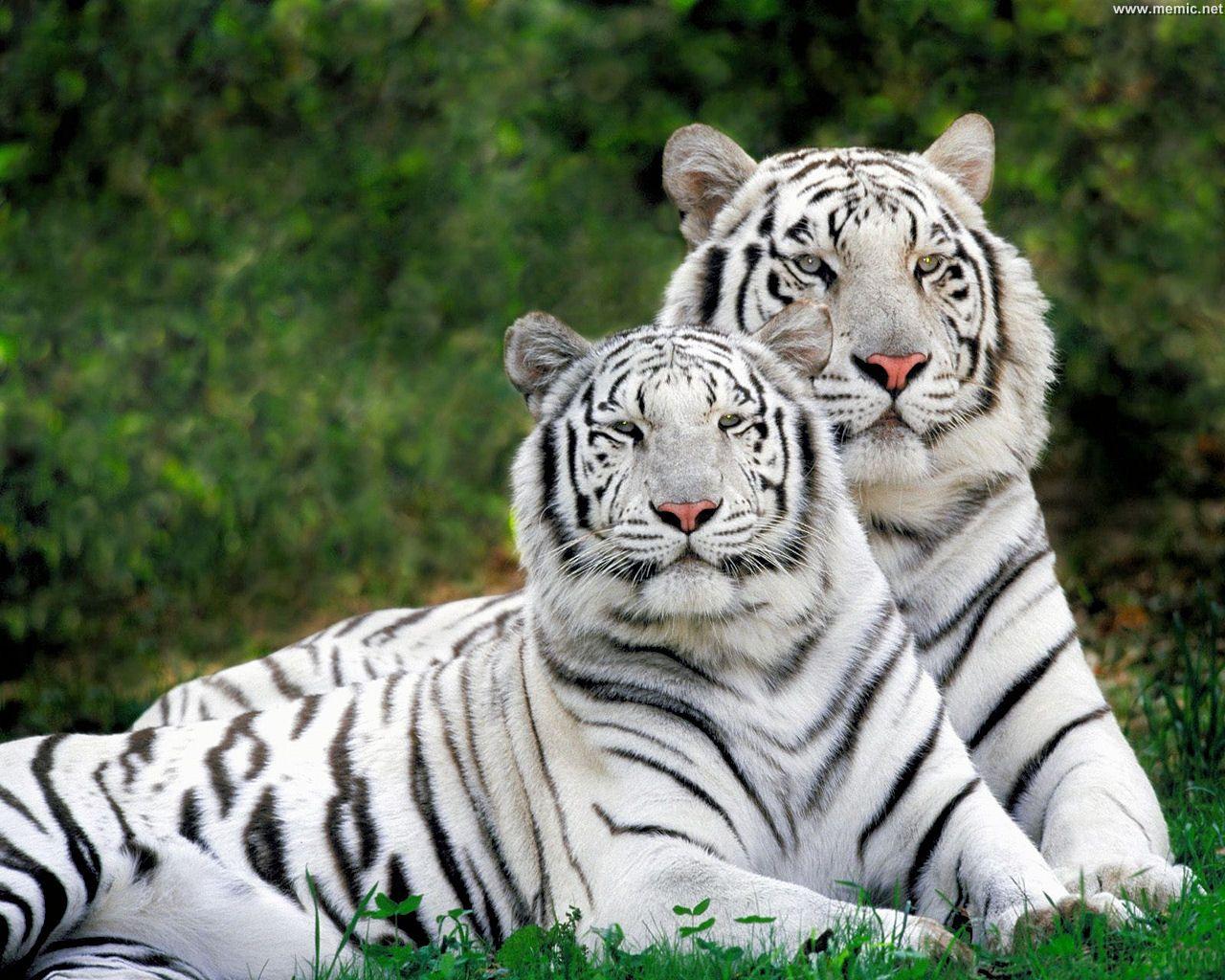 tigerbiachi