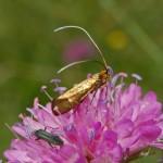 Adelidae   Nemophora metallica 1