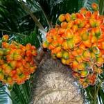 A45 Bactris gasipaes Arecacea Palmae Pupunha  Pejibaye or Palm Peach