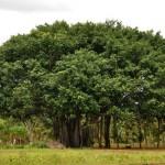 Big Banyan tree Photographs 9