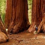 Il riscaldamento globale uccide le sequoie