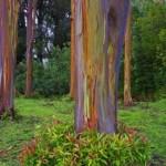 Rainbow Eucalyptus tree 30.5x16.5 360 600 450 70