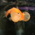 bubble fish1