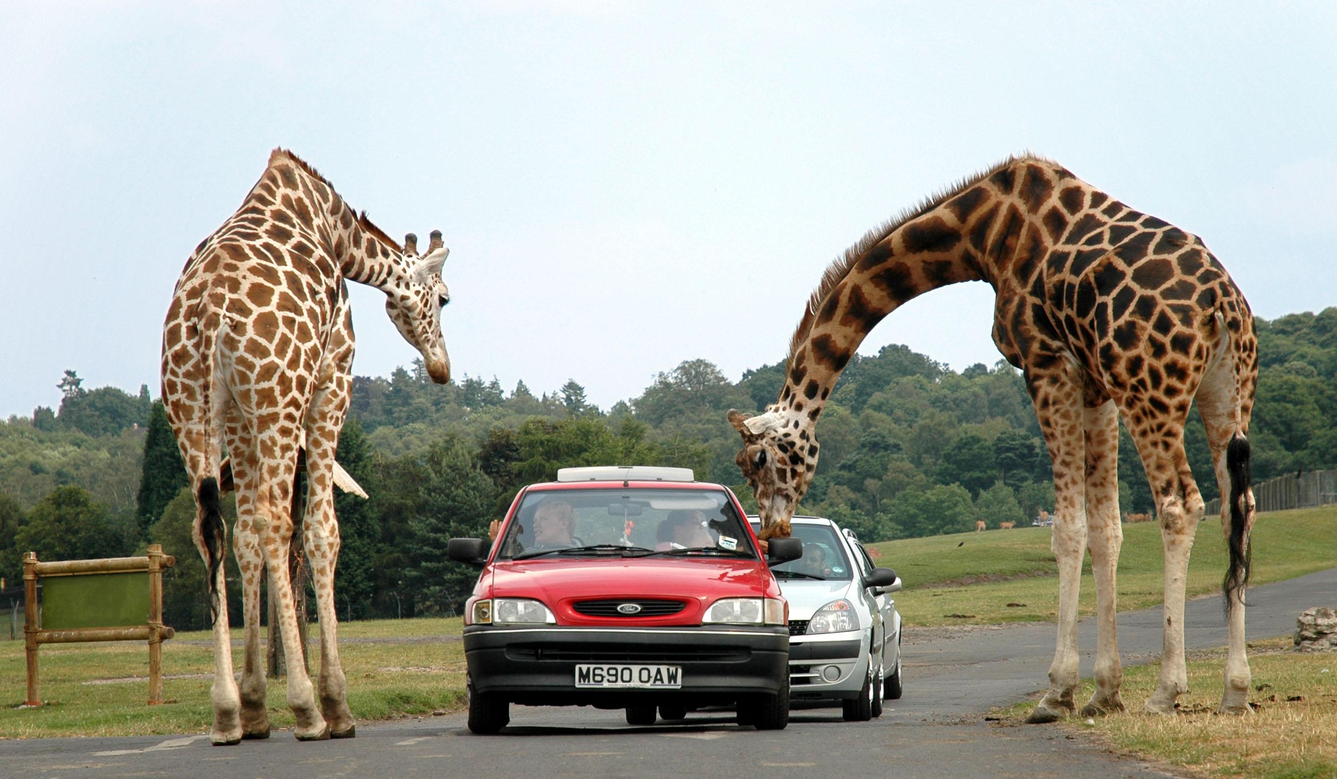 Giraffes at west midlands safari park