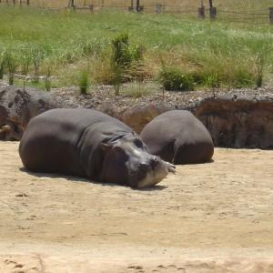 Werribee Open Range Zoo australia 513745 1280 960
