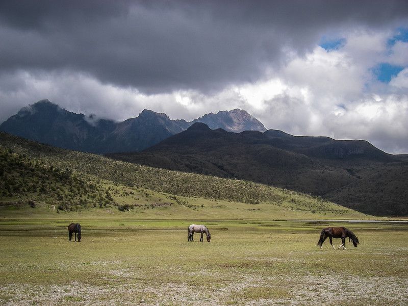 Wild Horses Grazing at Cotopaxi National Park L