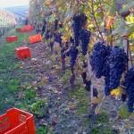 5 feste del vino novello in Italia