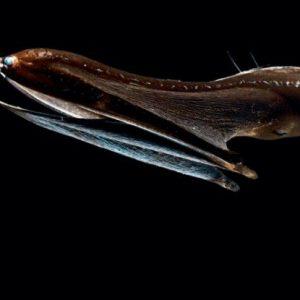 Foto alta risoluzione anguilla pellicano