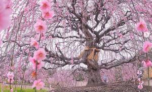 Tokyo, come soggiornare in una casa ispirata alla fioritura di ciliegi