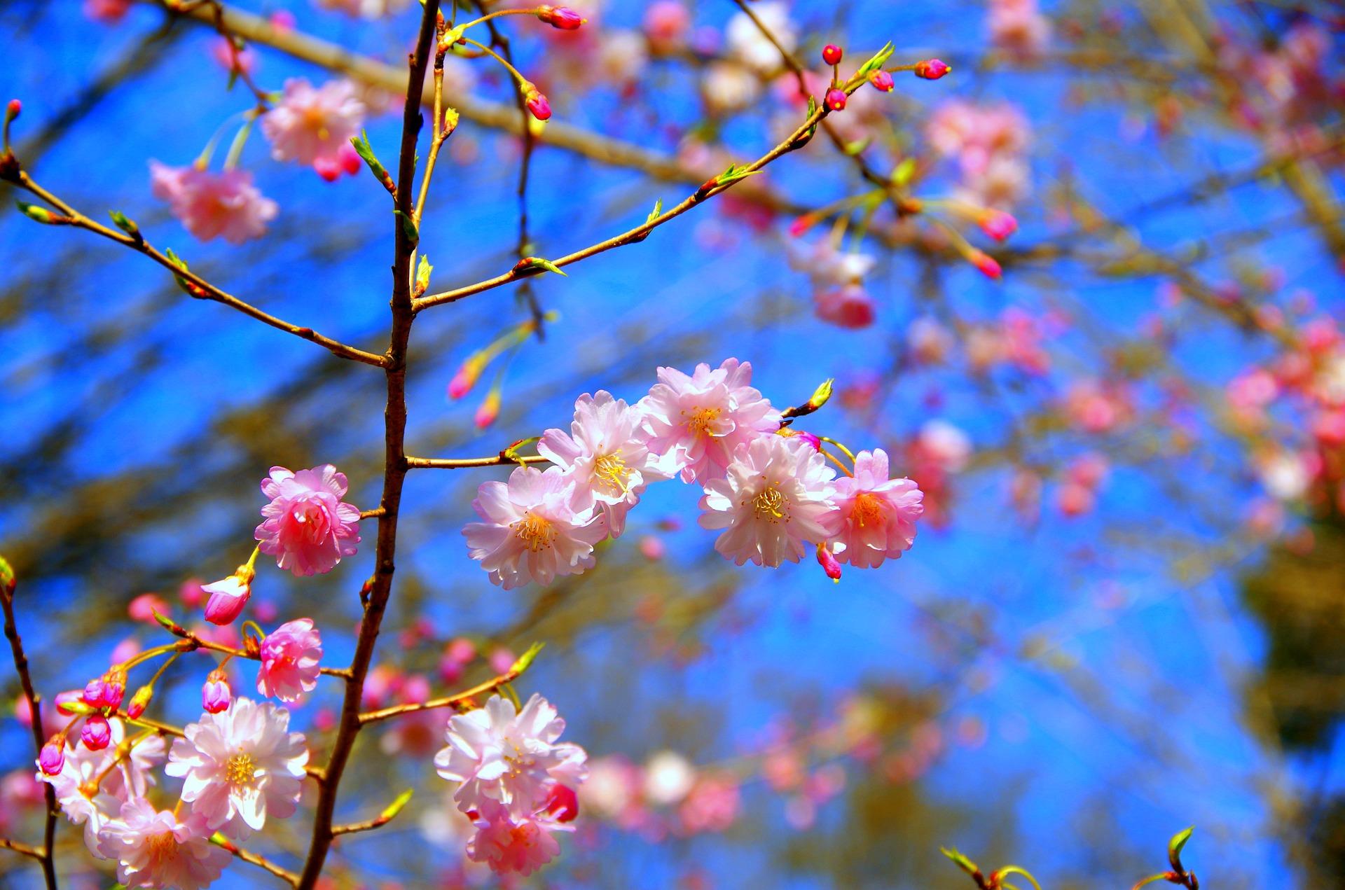 Fioritura dei ciliegi in Italia: dove vederla