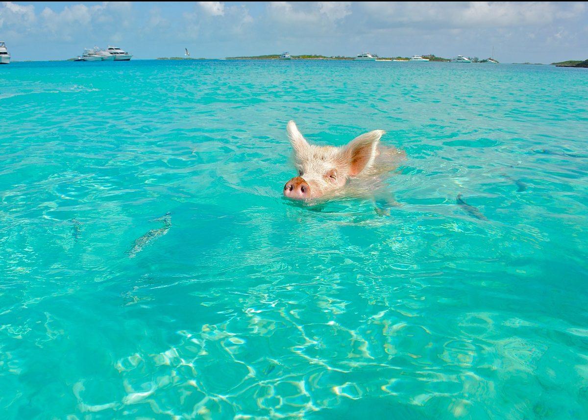 isola dei maiali