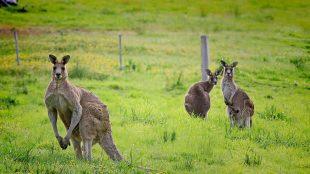 canguri australia