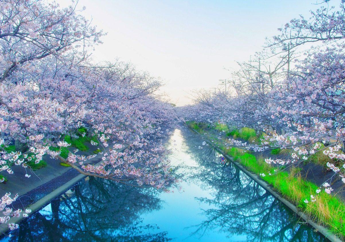 quando andare in Giappone per fioritura dei ciliegi