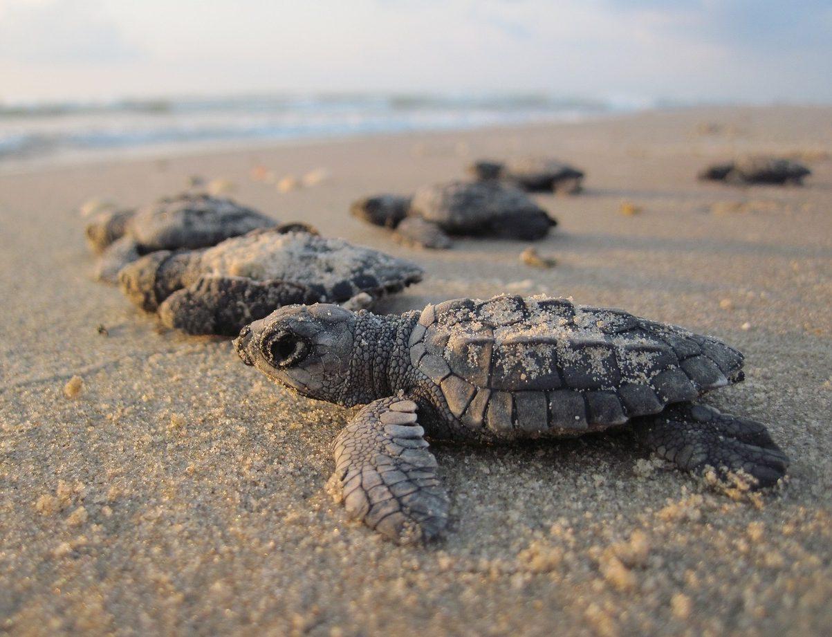 schiusa delle uova della tartaruga marina