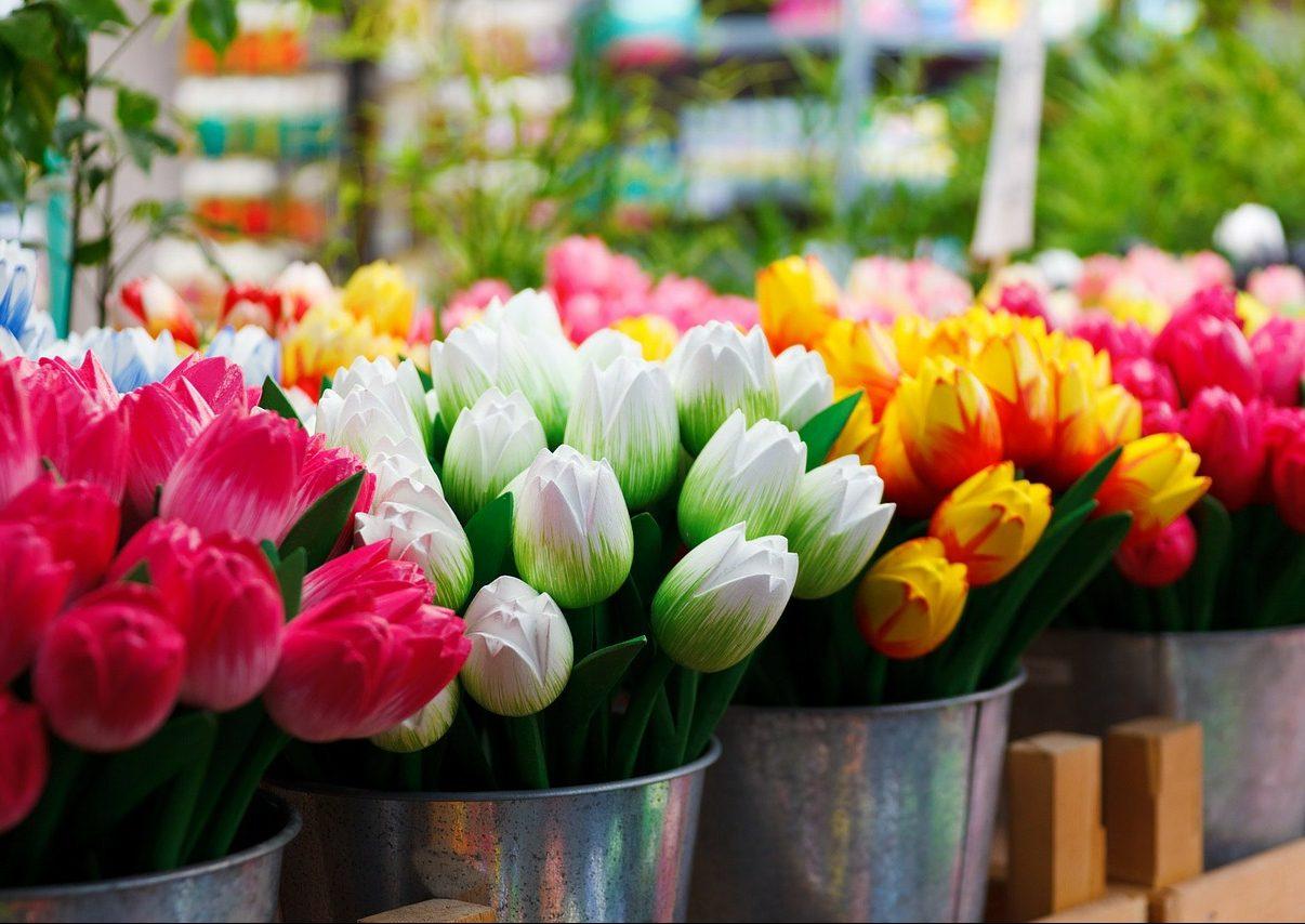 semi di tulipano