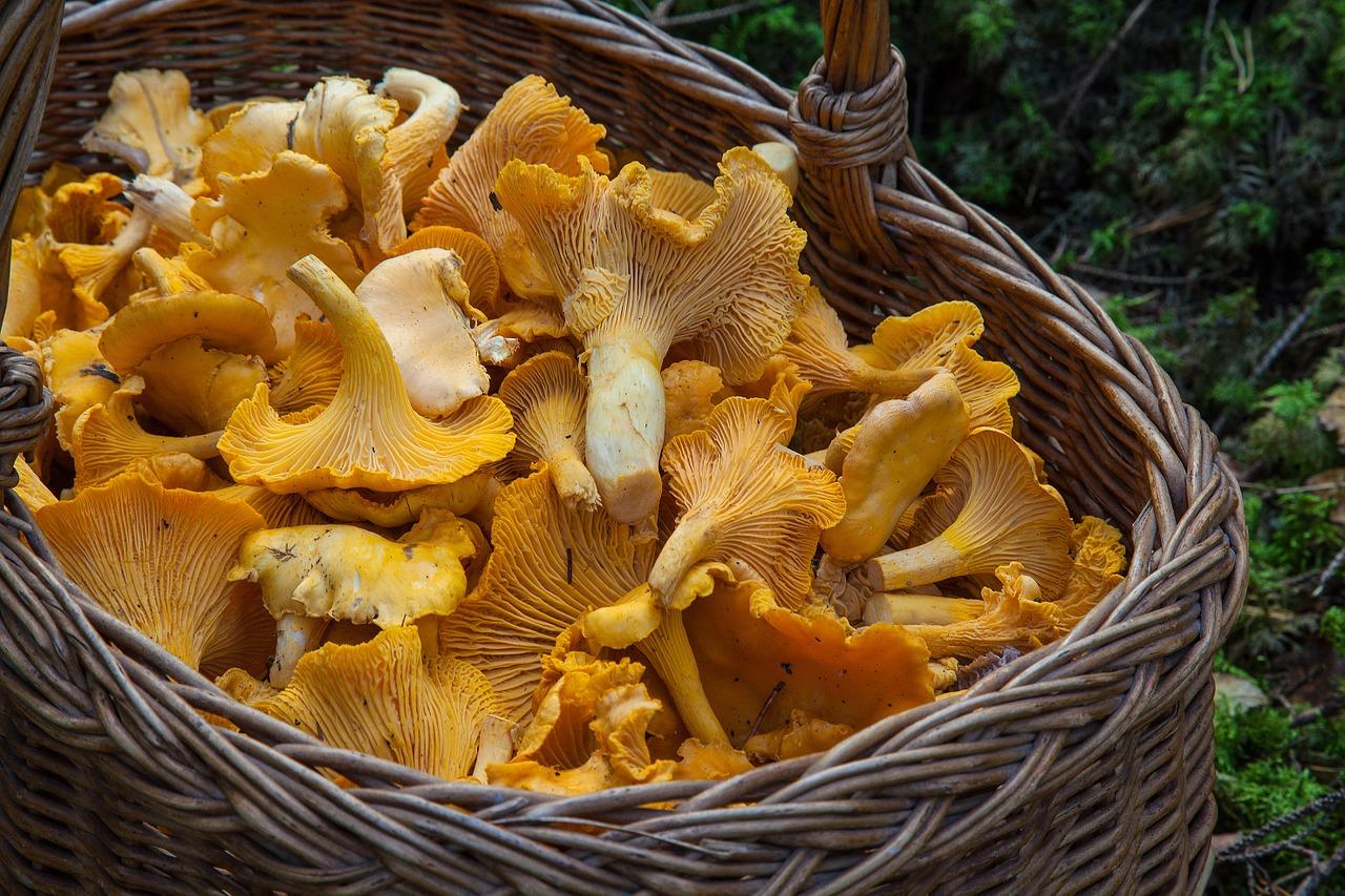 raccolta funghi toscana