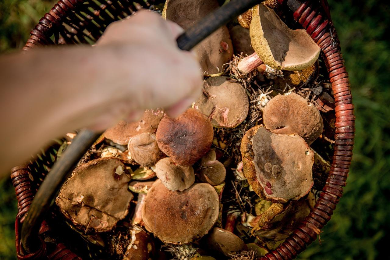 raccolta funghi trentino