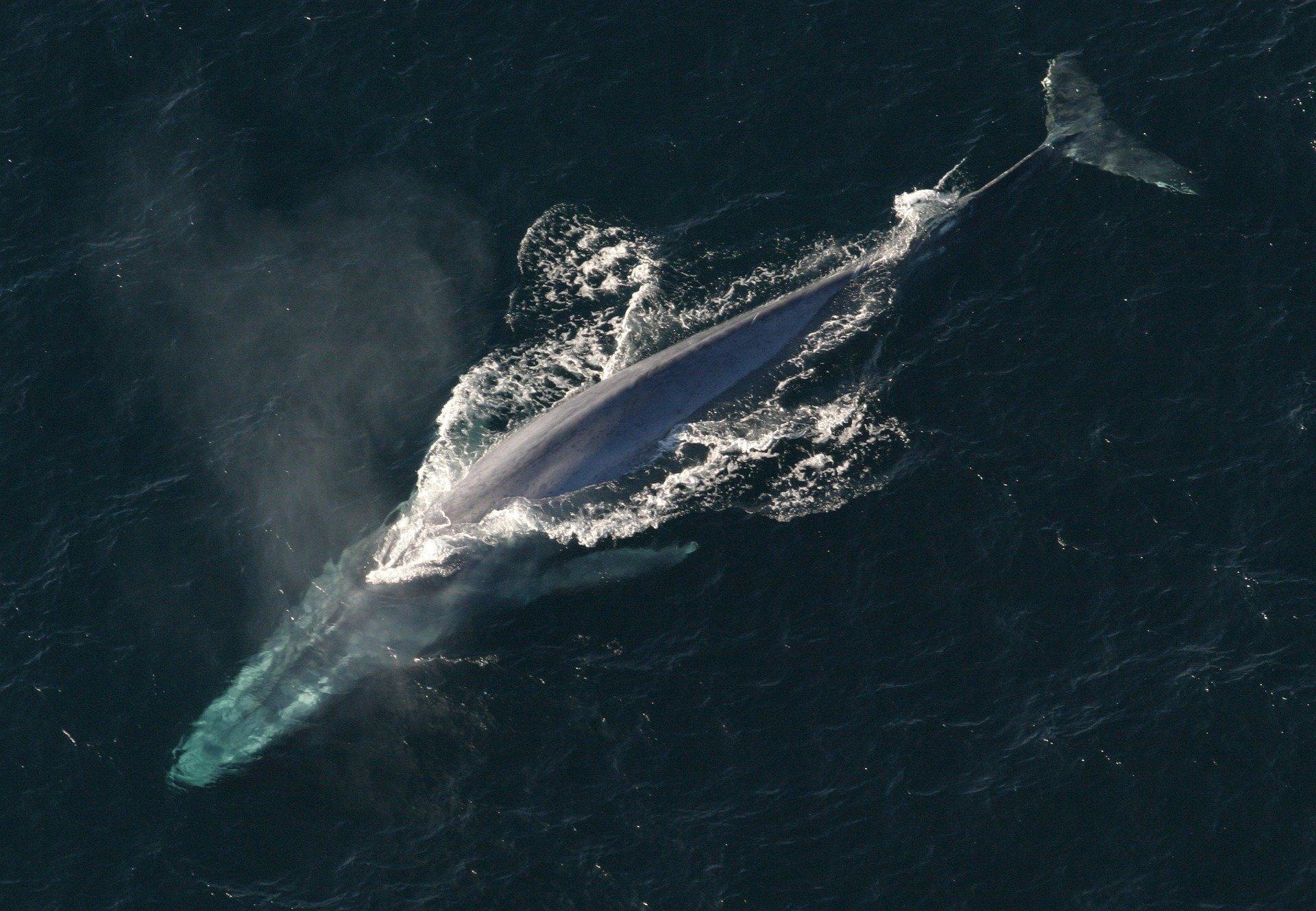 blue whale 1198719 1920