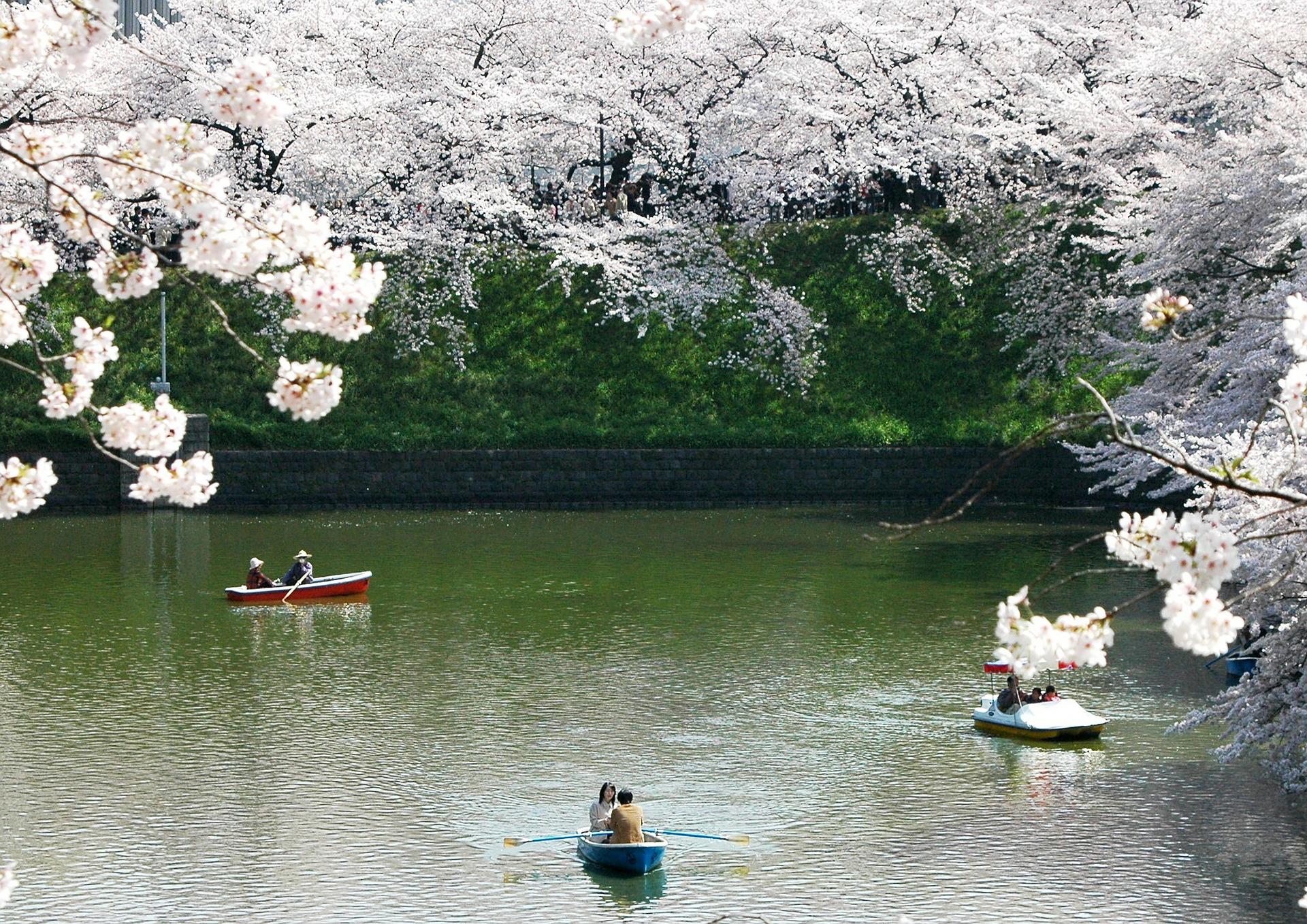 Ciliegi in fiore Giappone 2020