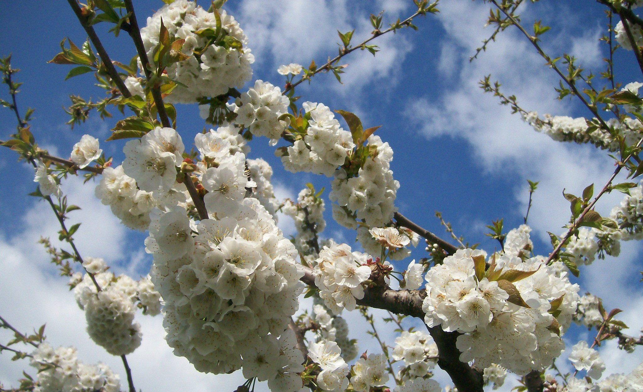 festa dei ciliegi in fiore vignola 2020