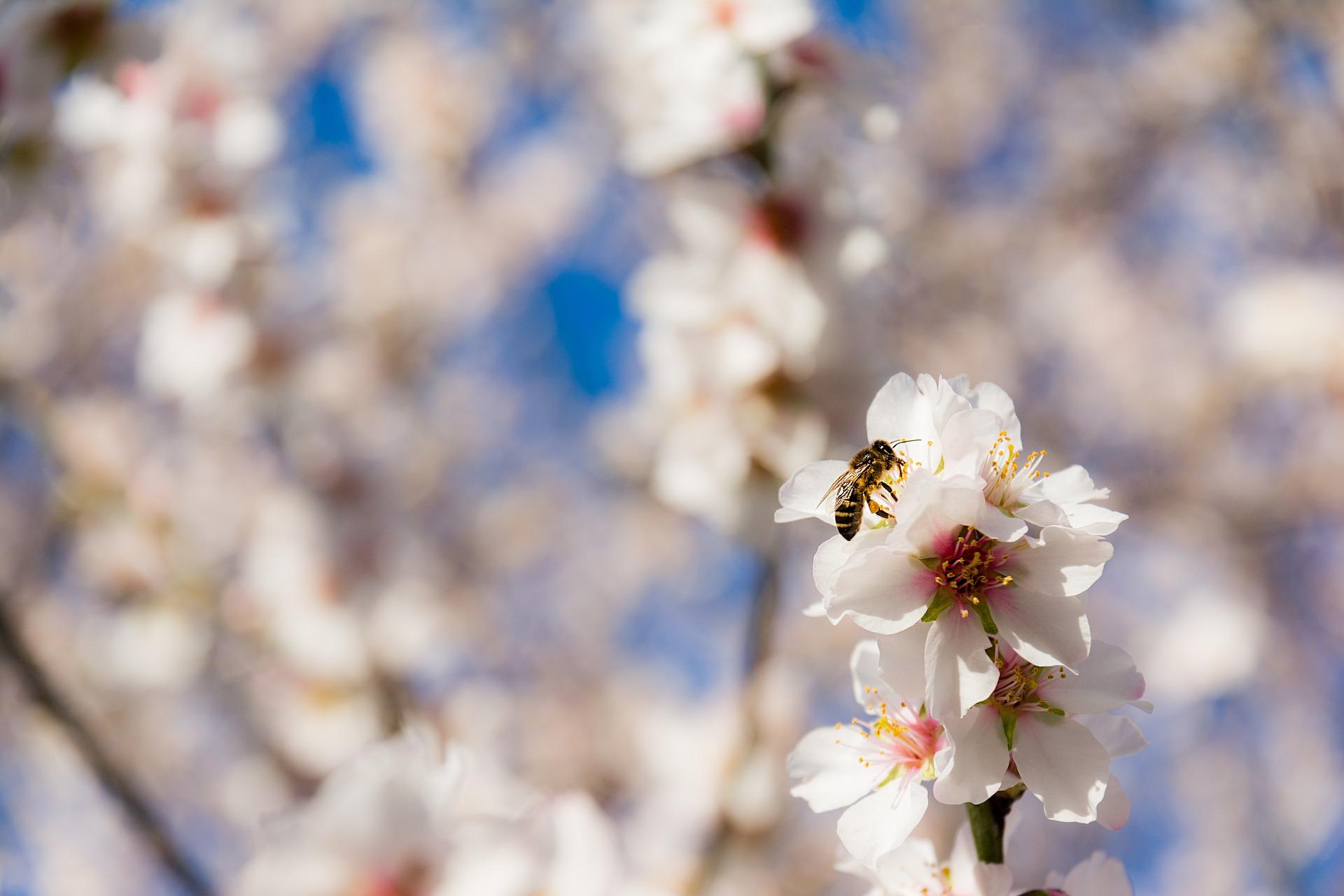 Mandorli in fiore in Algarve