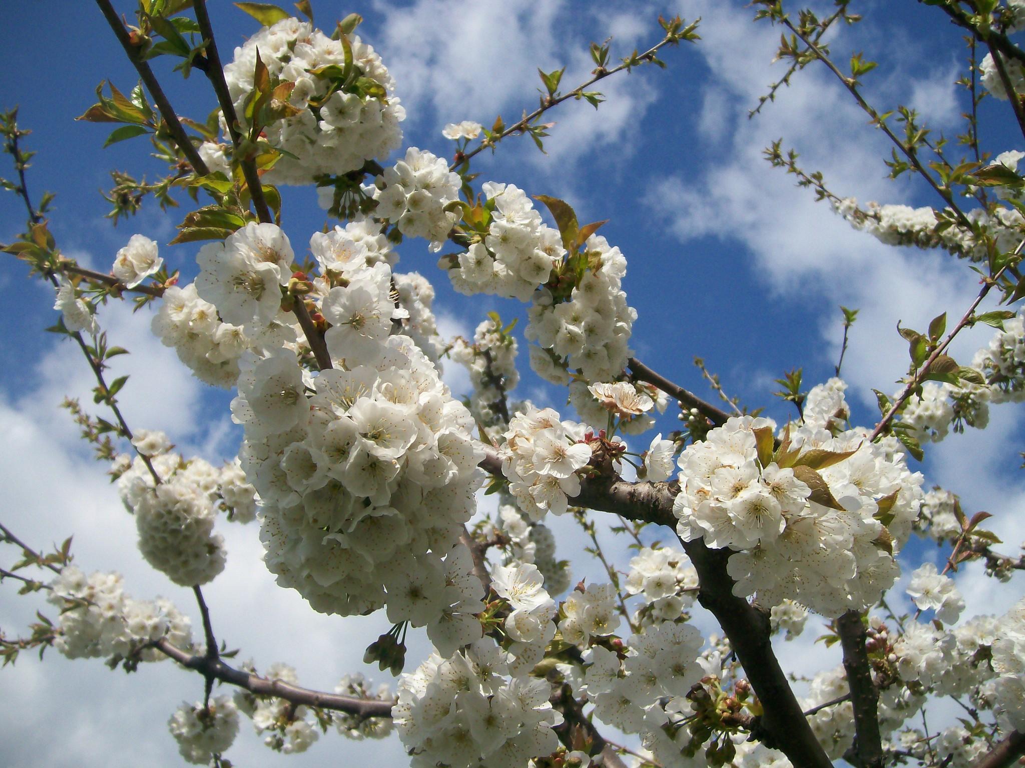 adotta un albero di ciliegio vignola