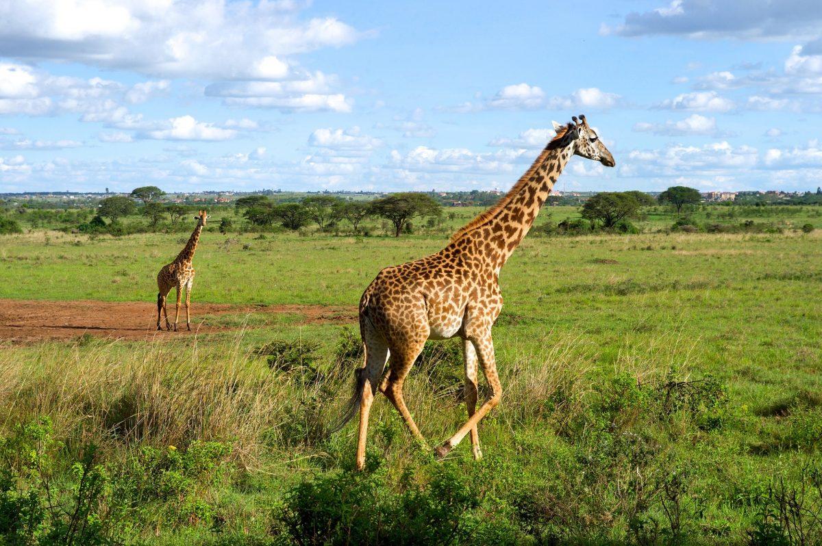giraffes-1