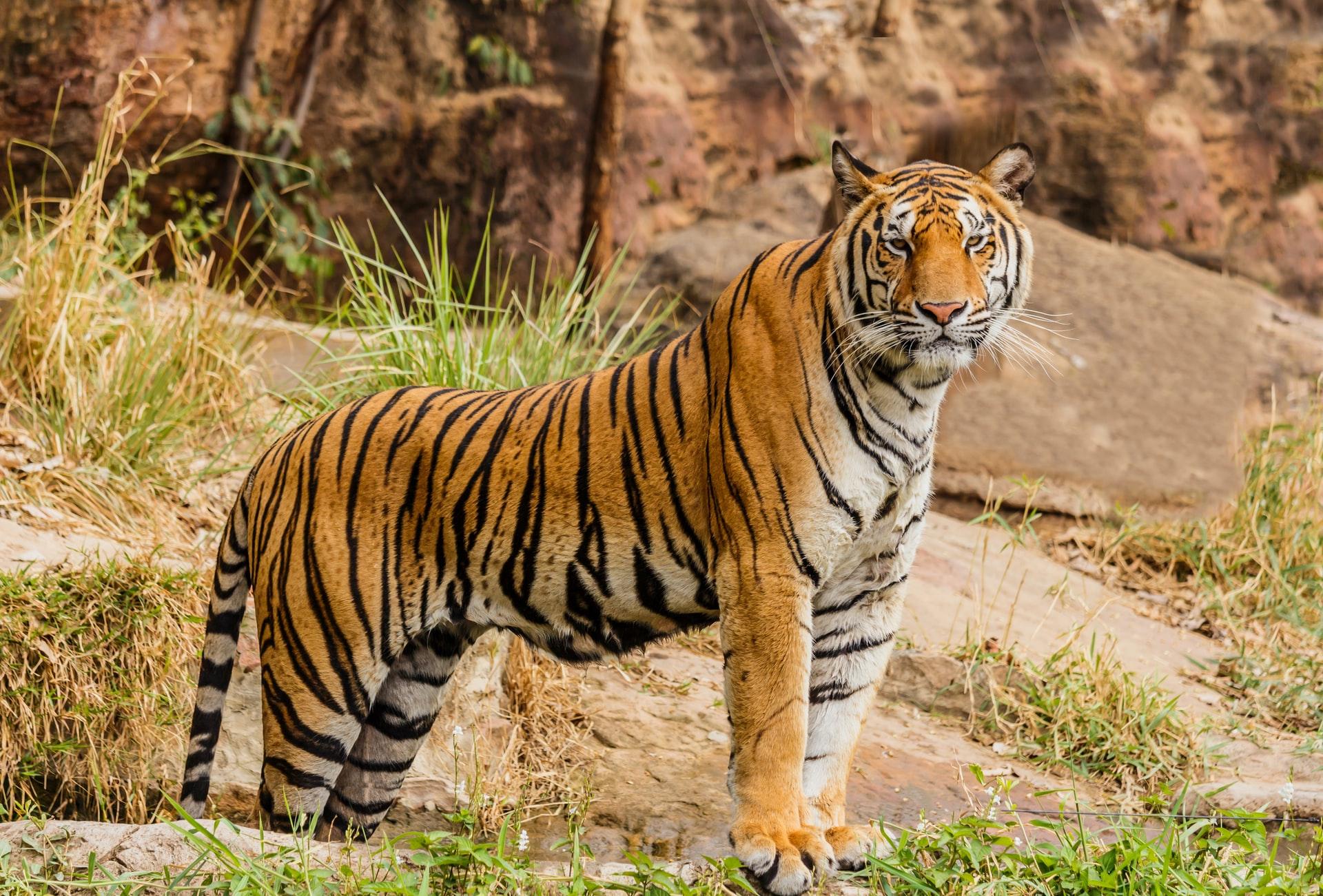 habitat naturale tigre