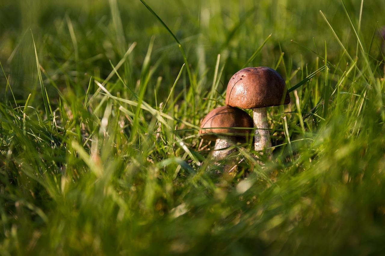 raccolta funghi 2020 trentino