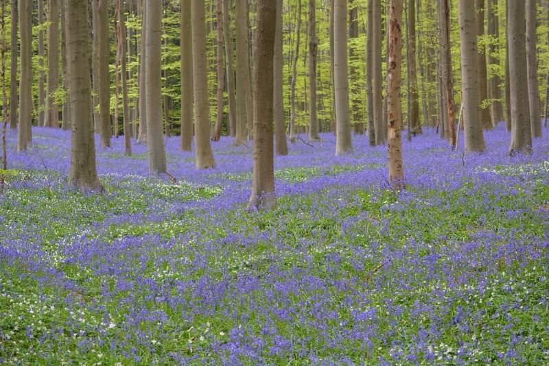Foresta di Hallerbos