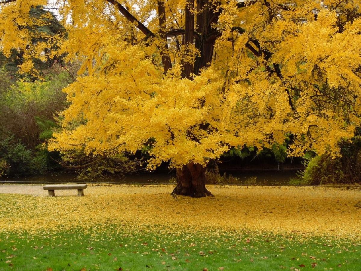 ginkgo biloba albero giapponese