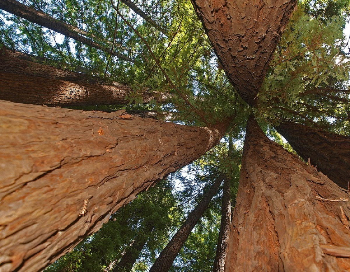 alberi giganti america