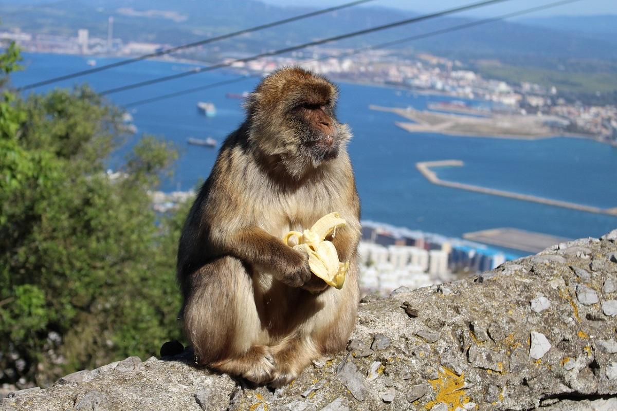 Gibilterra scimmie libere