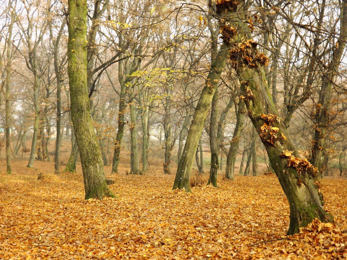 foresta romania