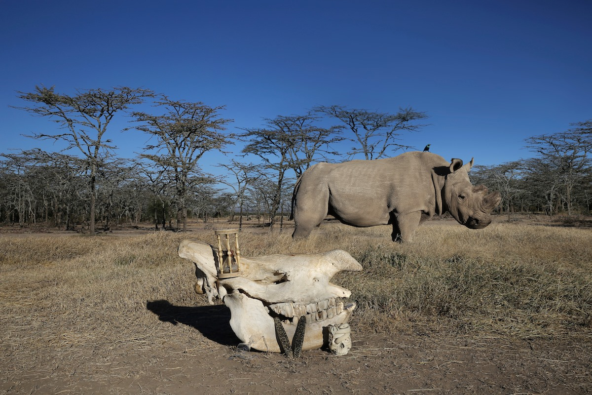 sudan rinoceronte bianco