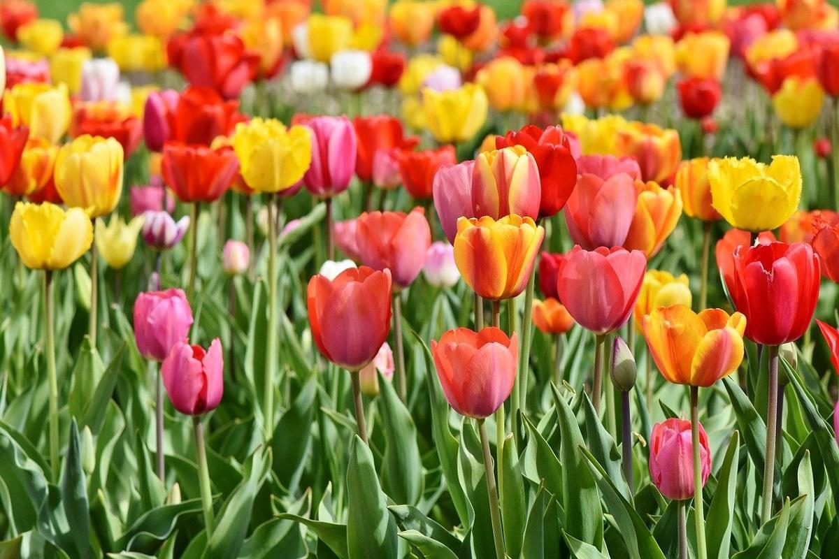Campo tulipani Brianza
