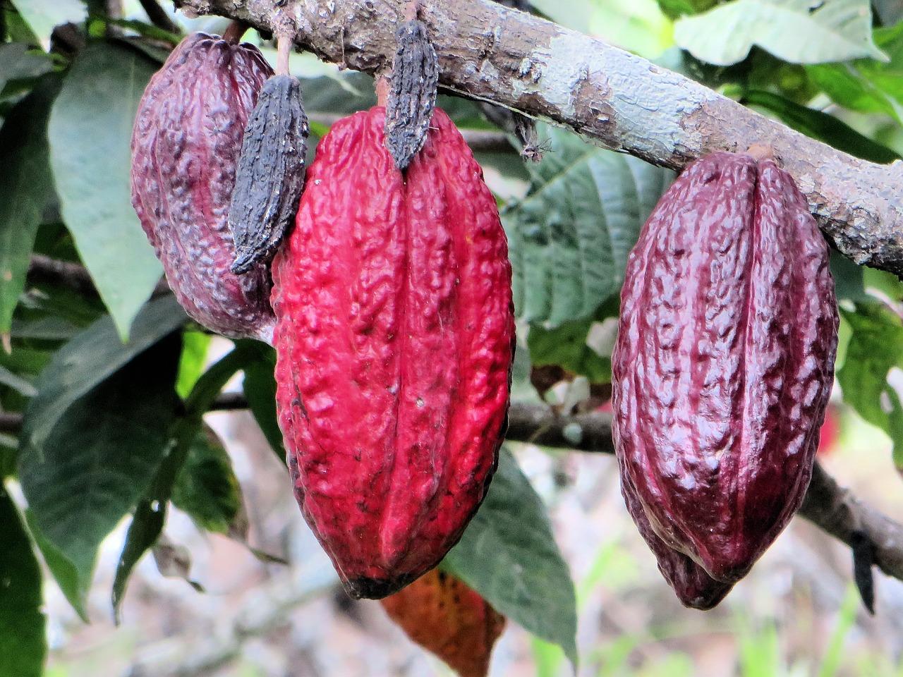 cacao in Perù