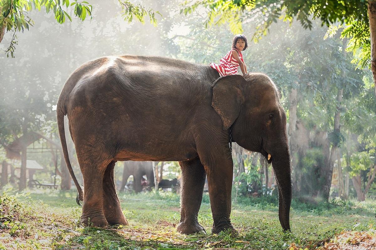 Surin Thailandia elefanti