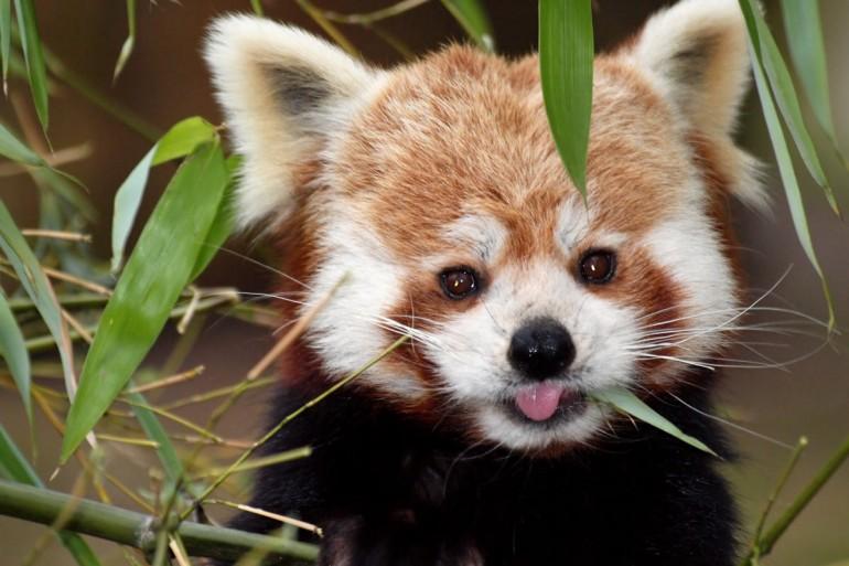 Dove vive panda rosso in europa viaggiamo for Dove vive la volpe